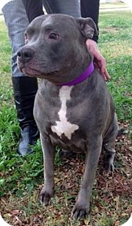 Pit Bull Terrier/Staffordshire Bull Terrier Mix Dog for adption in Chandler, Arizona - Blue