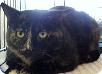 Domestic Shorthair Cat for adoption in Muskegon, Michigan - Corky