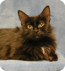 Domestic Mediumhair Cat for Sale in Sacramento, California - Star