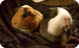 Guinea Pig for Sale in Costa Mesa, California - Clementine and Belle
