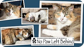 Calico Cat for Sale in Lighthouse Point, Florida - Majic