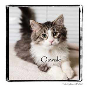 Domestic Longhair Cat for Sale in Warren, Pennsylvania - Oswald