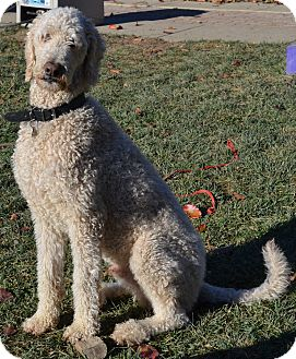 Golden Retriever/Poodle (Standard) Mix Dog for Sale in Simi Valley, California - Duncan