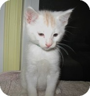 Domestic Shorthair Kitten for Sale in Shelton, Washington - Allister