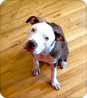 American Pit Bull Terrier Mix Dog for Sale in Laval, Quebec - Sadie