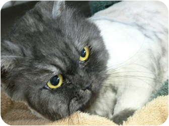 Persian Cat for adoption in Columbus, Ohio - Ginger