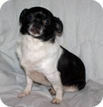 Chihuahua Mix Dog for Sale in Clear Lake, Washington - Molly