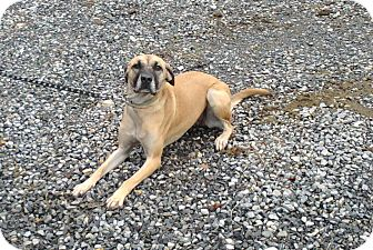 Rhodesian Ridgeback Mix Dog for Sale in Bedford, Virginia - Cindy