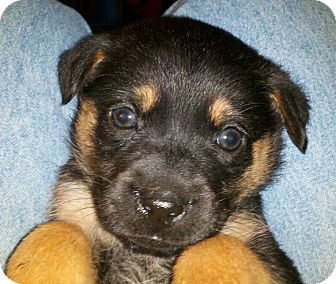 German Shepherd Dog/Labrador Retriever Mix Puppy for Sale in Torrance, California - MISSY