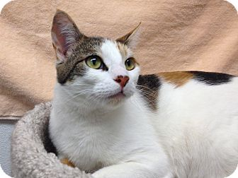 Calico Cat for Sale in Foothill Ranch, California - Nanee