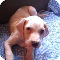 Hound (Unknown Type) Mix Puppy for Sale in Richmond, Virginia - Penelope