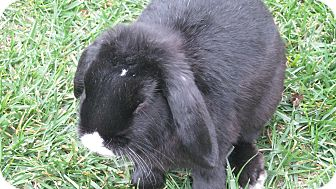 Mini Lop Mix for Sale in Bonita, California - Dudley