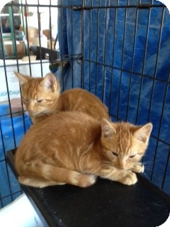 Domestic Shorthair Kitten for Sale in Ft. Lauderdale, Florida - Marmaduke