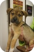 Labrador Retriever/Boxer Mix Puppy for Sale in Marietta, Georgia - Samwyse