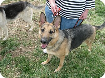 German Shepherd Dog Dog for adption in Greeneville, Tennessee - Teagan