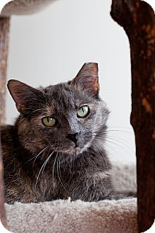Domestic Shorthair Cat for adoption in Chicago, Illinois - Lira