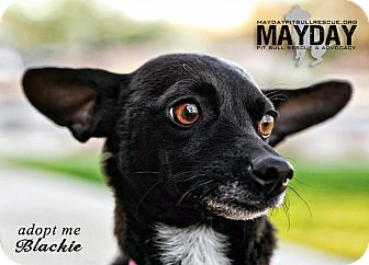 Chihuahua Dog for adption in Phoenix, Arizona - Blackie