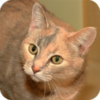 Domestic Shorthair Cat for Sale in Albany, New York - Elizabeth