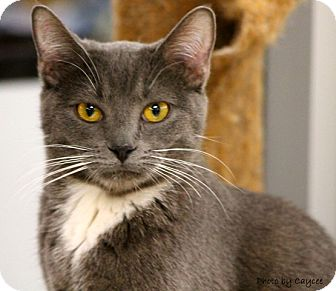 Russian Blue Kitten for adoption in Mesa, Arizona - Sarah