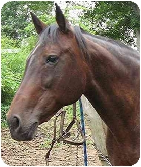 Standardbred for adoption in Washington, Connecticut - Bow