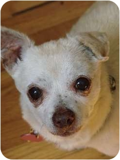 Chihuahua Mix Dog for adption in Studio City, California - Jack