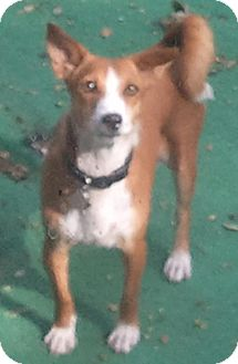 Basenji/Dachshund Mix Dog for adption in Seminole, Florida - Mandy