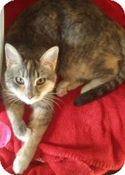 Calico Cat for Sale in New Bedford, Massachusetts - Athena