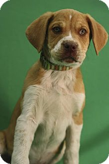 Shepherd (Unknown Type)/Labrador Retriever Mix Puppy for Sale in Broomfield, Colorado - NutterButter