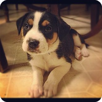 Bernese Mountain Dog/Rottweiler Mix Puppy for Sale in Torrance, California - DIEGO