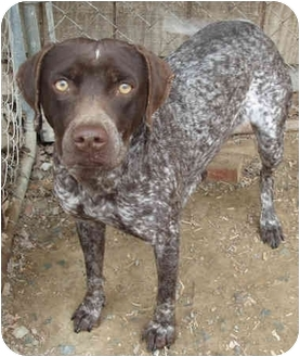 German Shorthaired Pointer/Labrador Retriever Mix Dog for adoption in