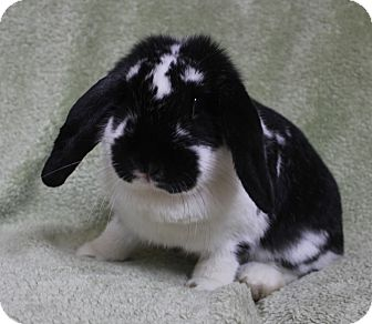 Lop, French for Sale in Franklin, Tennessee - Pippa