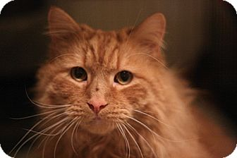 Domestic Longhair Cat for adoption in Columbia, Maryland - Marmalade
