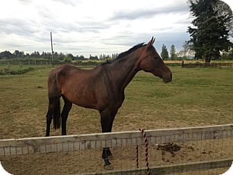 "Thoroughbred Mix for adoption in Everett, Washington - Silicone Flight ""Cali"""