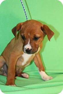 Boxer Mix Puppy for Sale in Broomfield, Colorado - Larry