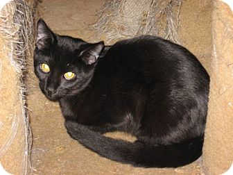 Bombay Kitten for Sale in Mesa, Arizona - Winston