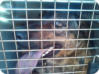 German Shepherd Dog Mix Dog for adption in Glendale, Arizona - Adele