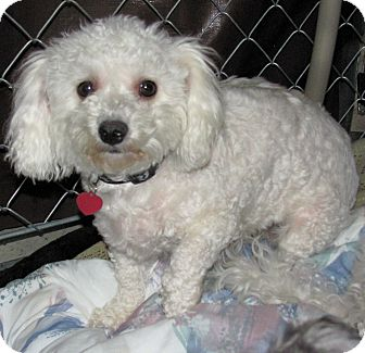 Bichon Frise/Poodle (Miniature) Mix Dog for Sale in Fresno, California