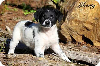 Spaniel (Unknown Type) Mix Puppy for Sale in Wilmington, Delaware - Liberty