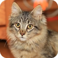Domestic Longhair Kitten for Sale in Albany, New York - Ramsey