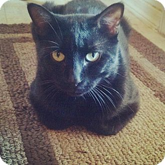 Bombay Cat for Sale in Scottsdale, Arizona - Jasper- Courtesy Post