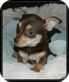 Chihuahua Mix Puppy for Sale in Hagerstown, Maryland - Munchkin