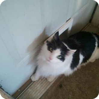 Domestic Longhair Cat for adoption in Braselton, Georgia - *Oreo