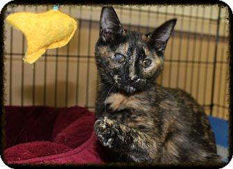 Calico Kitten for adoption in Orange, California - Izzy