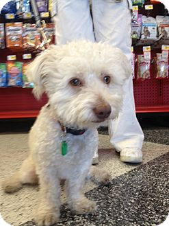 Bichon Frise/Poodle (Miniature) Mix Dog for Sale in Van Nuys, California - Marley