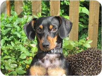Dachshund Dog for adption in Portland, Oregon - ROCKFORD