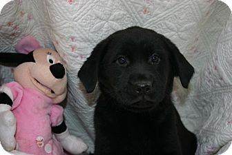 Labradoodle Mix Puppy for Sale in Glastonbury, Connecticut - Estee Lauder~adopted~