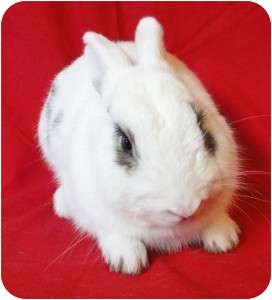 Dwarf Hotot Mix for Sale in Los Angeles, California - Spud