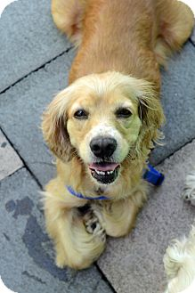 Cocker Spaniel Dog for Sale in New York, New York - Florence
