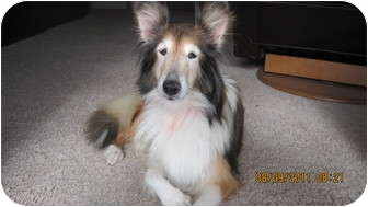 Sheltie, Shetland Sheepdog Dog for Sale in apache junction, Arizona - Lilly