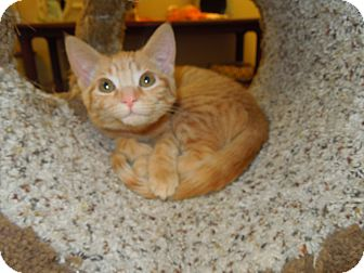 Domestic Shorthair Kitten for Sale in Medina, Ohio - Mona